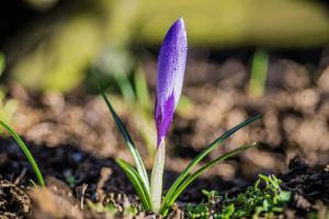 زعفران اصل بوی شیرینی دارد.